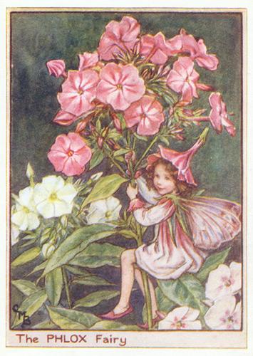 the phlox fairy genuine antique print 1950